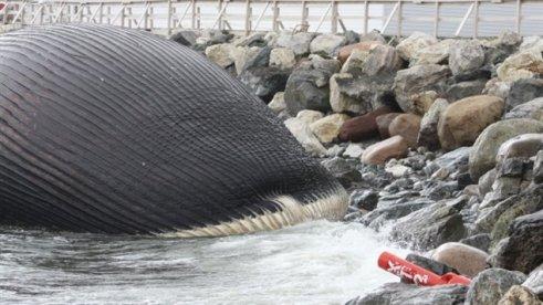 Carcasse de baleine bleue à Terre-Neuve     Photo : Courtoisie de Jeremy Crocker