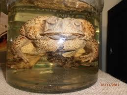 grenouille au formol