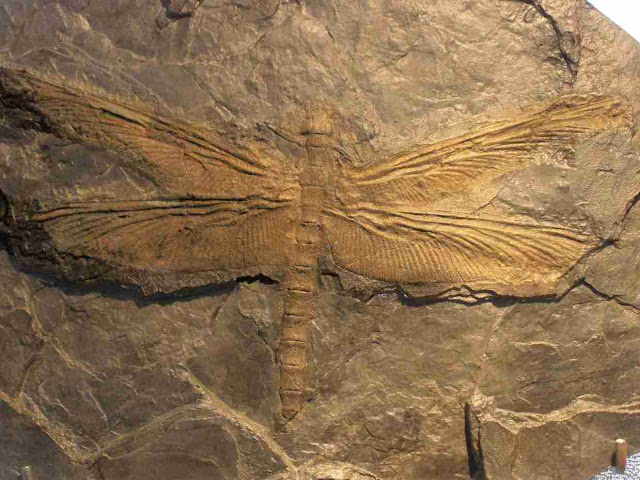 Fossil of a Meganeuridae_The Largest Insect Ever Was a Giant Dragonfly1 (1)__